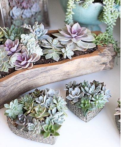 Yaşayan Hediyeler Succa Succulent